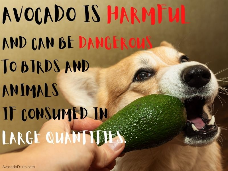 Avocado is harmful and can be dangerous to birds and animals if consumed in large quantities. Side Effects Of Avocado On Health