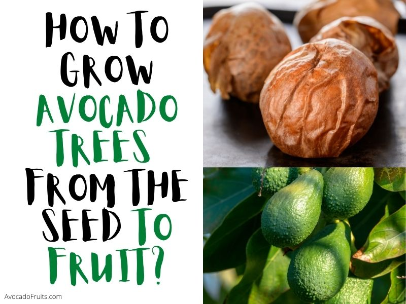 How To Grow Avocado Trees From The Seed To Fruit Fast