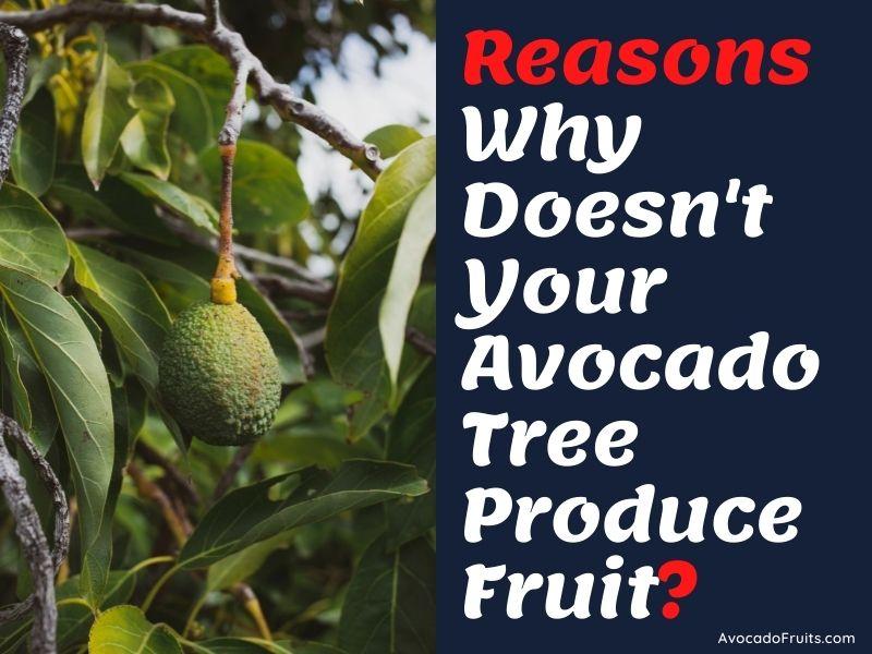 Reasons Why Doesn't Your Avocado Tree Produce Fruit