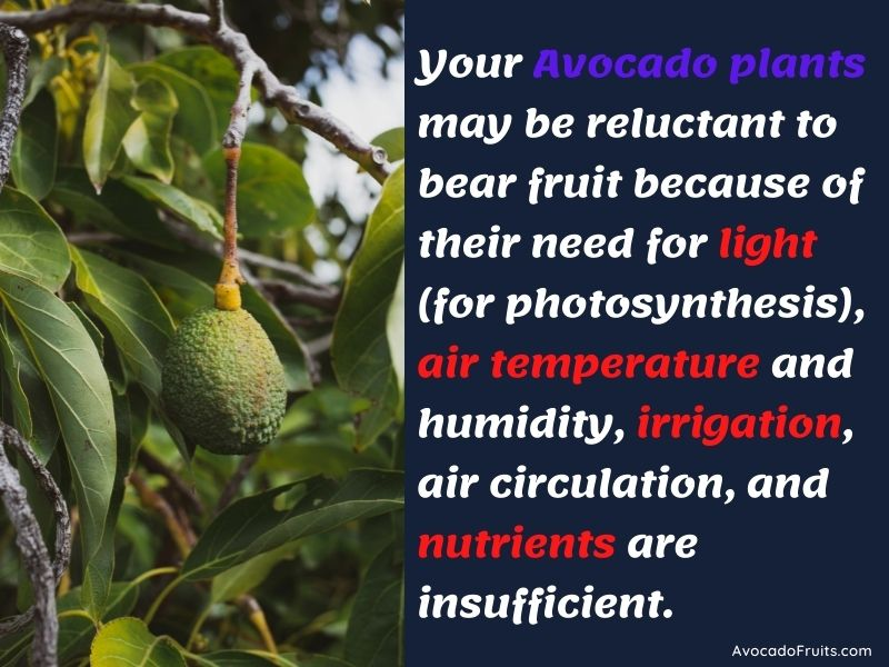 Your avocado plants may be reluctant to bear fruit because of their need for light (for photosynthesis), air temperature and humidity, irrigation, air circulation, and nutrients are insufficient.
