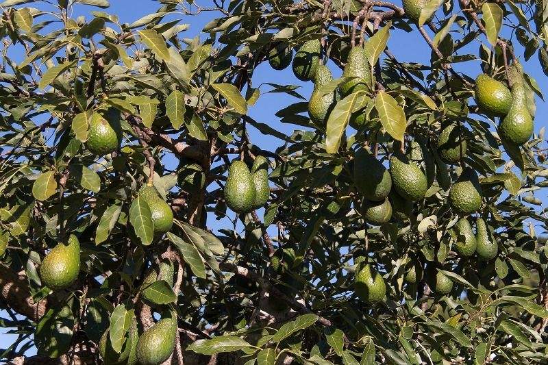 hass avocados trees fruits
